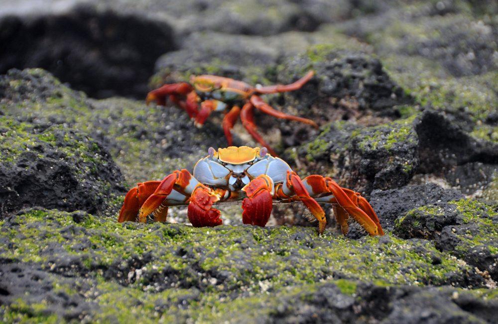 Ecuador – Galapagos – 2016 – Krabben